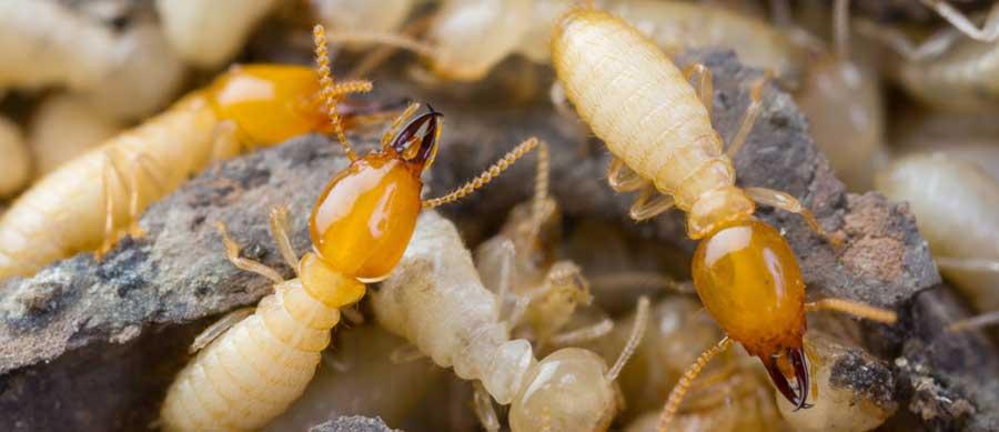 diagnostic immobilier termites insectes xylophages maison et appartement devis gratuit. Black Bedroom Furniture Sets. Home Design Ideas